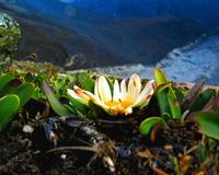 A flower on Chopicalqui