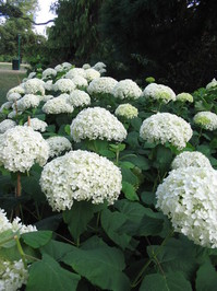White Hydrangea 2