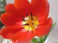 tulipa 02