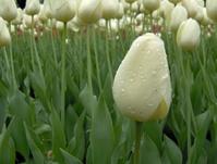 Ottawa Tulip Festival 2006 V