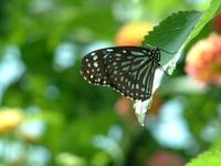 Butterfly - Vallejo, CA