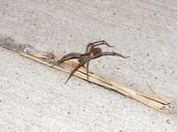 Large Wolf Spider 1