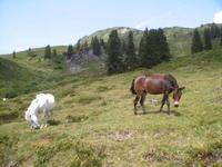 Horses, black and white 2