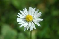 Daisy's 4
