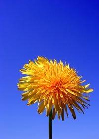 dandelions new 1