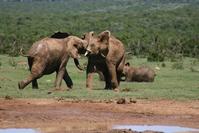 Addo Elephant 101
