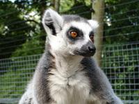 Ring Tailed Lemurs 1