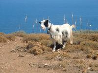 Goats in Crete 2