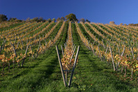 Vineyard field 2