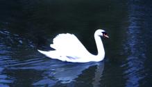 Glowing Swan