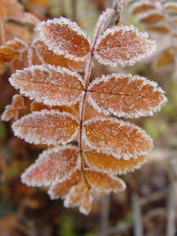 frozen leaf2