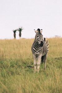 grassland zebra