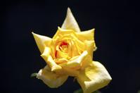 Yellow Rose Of Evansville