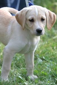 Labrador puppy 3