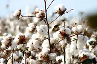Algodao - Cotton - Campo Verde