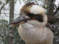 Kookaburra #1