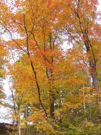orange maple 1
