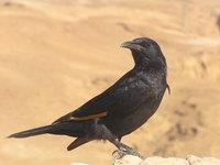 Tristram's Starling 1