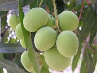 Manga - Fruta Tropical