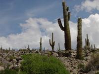 Cactus (Cardones) in Salta, Ar