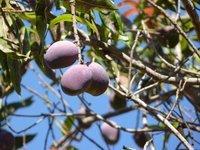 Mango grape