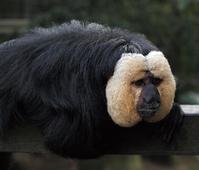 White head monkey