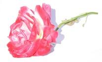 Blushing Rose 50