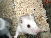 Joe, the hamster