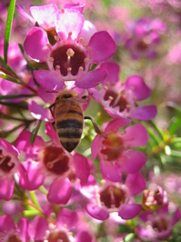 Chamelaucium 'Purple Pride' with Bee