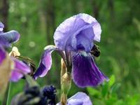 Purple/Blue Iris