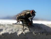 Greek Flies