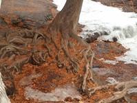 Creeping tree roots