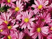 Pink yellow daisies