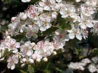 Hawthorn Blossom 1
