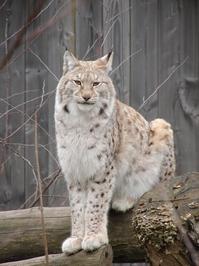 Lynx posing