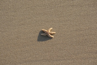 Starfish at beach Texel 2