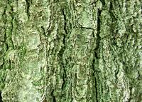 Tree rind 3