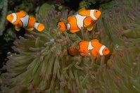 Three Clownfish in Anemone 1