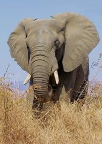 "African Elephant (Trunk ""hand"") 1"