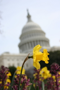 Capitol Flower