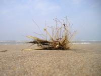 Beachbush
