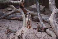 meerkat at knowsley safari park