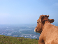 Cow View