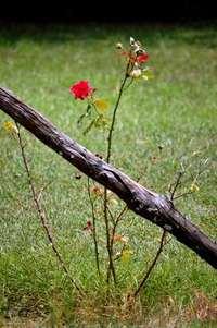 Never cross a rose