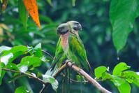 Indian Parrot in rain