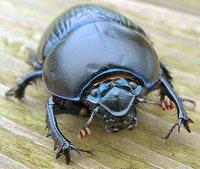 Purple beetle 1