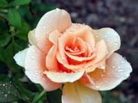 Brandy Rose after rain 1