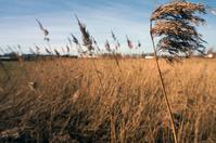 Grain Field in Spring