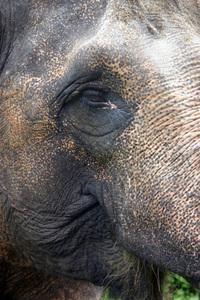 Asian Elephant Close-ups 2