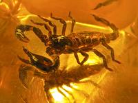 scorpion in bastard amber 3